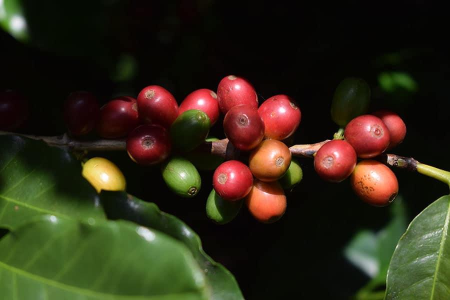 Fruto café gourmet de centro américa