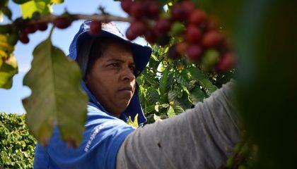 Recolecta café especial de orígen Brasil