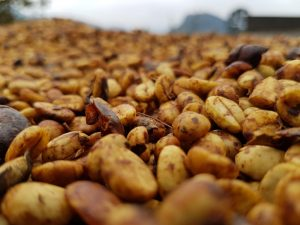 En el café Honey, se deja parte del mucílago durante el secado. Esto le da un aspecto meloso, de ahí su nombre