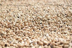 En el proceso lavado, se dejan secar los granos una vez despulpada la cereza y retirado todo el mucílago