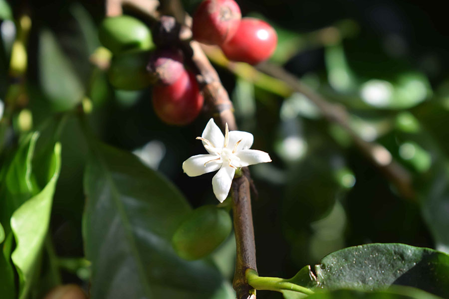 Flor del Cafeto, planta del café arábica