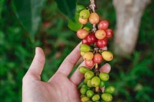 Planta café de especialidad