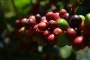 Fruto del Cafeto
