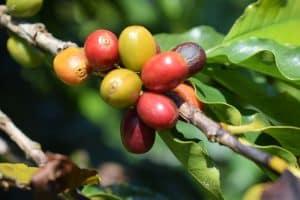 fruto café especial en maduración