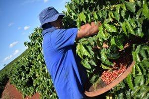 El proceso de recogida manual o _picking_ garantiza la recogida de cerezas en su punto óptimo de maduración, y es una tradición en los países centroamericanos y Colombia